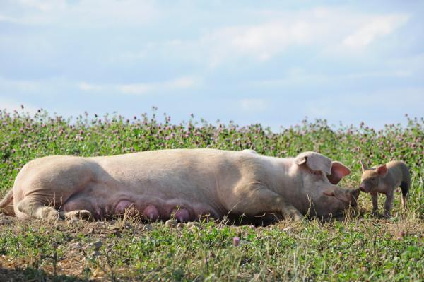 Schwein-auf-Wiese-mit-Jungem