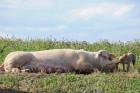 Schwein auf Wiese mit Jungem